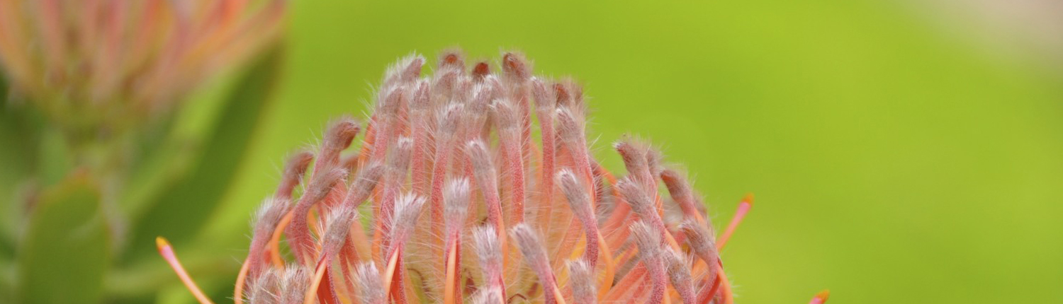 Leucospermum flower, close up, symbol of virtual teamwork
